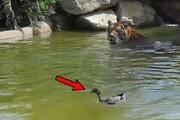 ببینید   لحظه حیرتانگیز حمله یک اردک به ببر وحشی