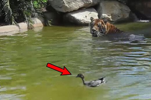 ببینید | لحظه حیرتانگیز حمله یک اردک به ببر وحشی