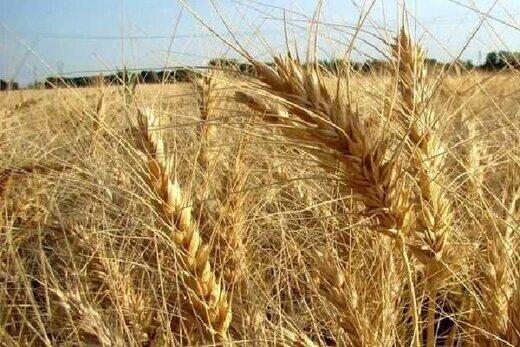 تولید گندم در هرمزگان ۱۵ درصد کاهش یافت