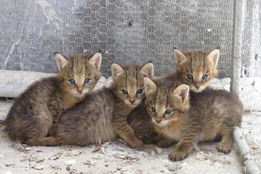 ببینید | نجات بچه گربه های وحشی در حال انقراض ایرانی