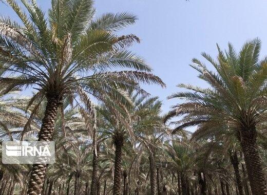 فروردین ماه طبیعت بهاری و گرده افشانی نخلستانهای بوشهر