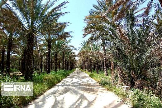 تصاویر | قابهای زیبا از طبیعت بهاری و گردهافشانی نخلستانهای بوشهر