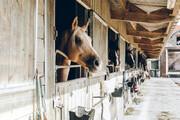ببینید | احساسی شدن اسب با شنیدن موسیقی آرامش بخش