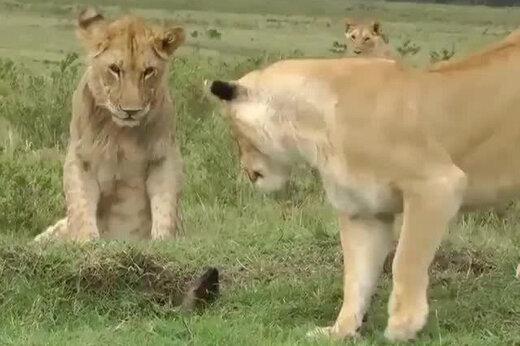 ببینید | حمله باورنکردنی و جالب یک خدنگ عصبانی به چند شیر وحشی