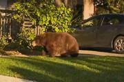 ببینید | ورود خرس به یک خانه در کالیفورنیا و واکنش سگهای خانگی!