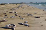 ببینید | مرگ دوباره گربه ماهی ها در ساحل جاسک