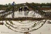 ببینید | آماده سازی خزانه برنج در شالیزار