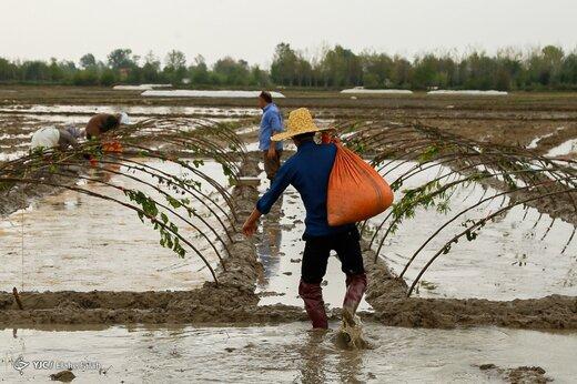 آماده سازی خزانه برنج