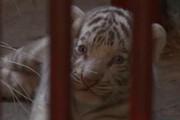 ببینید   لحظه تولد یک توله ببر سفید در کوبا