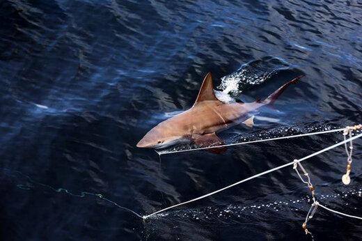 ببینید | فاجعه در آبهای جنوبی؛ انقراض حتمی و قریبالوقوع کوسهها