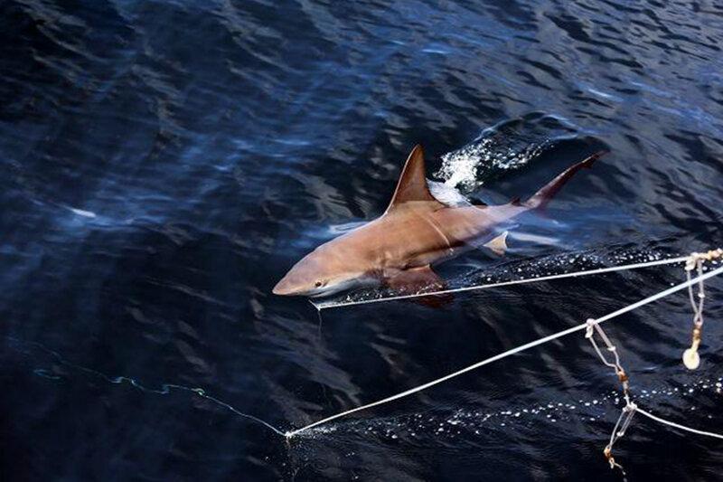5553206 - ببینید   فاجعه در آبهای جنوبی؛ انقراض حتمی و قریبالوقوع کوسهها