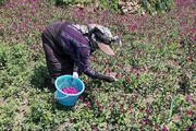 تصاویر   قابهایی دیدنی از برداشت گل گاو زبان در گیلان
