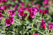تصاویر | مزرعهای دارویی به رنگ بنفش