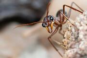 ببینید | حمله باورنکردنی و حیرتانگیز مورچه غولپیکر به یک مار
