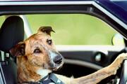 ببینید | سگی در نیوزلند موفق به رانندگی شد!