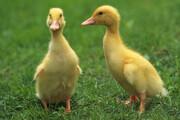 ببینید | لحظه جالب آموزش شیرجه به جوجه اردکها توسط مادر