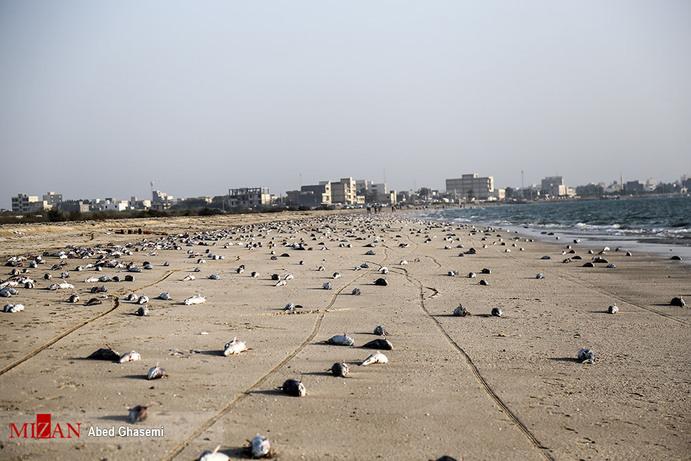 معمای مرگ گربهماهیان در سواحل جاسک/ نفت، زلزله یا صیادان؛ مقصر کیست؟