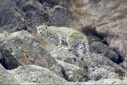 ببینید | رهاسازی پلنگ در ارتفاعات گیلان