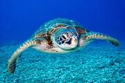 ببینید | ویدیویی نادر و جالب از لحظه چرت زدن لاکپشت در اعماق دریا