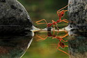 ببینید | تصاویری جذاب و دیدنی از آب خوردن مورچه