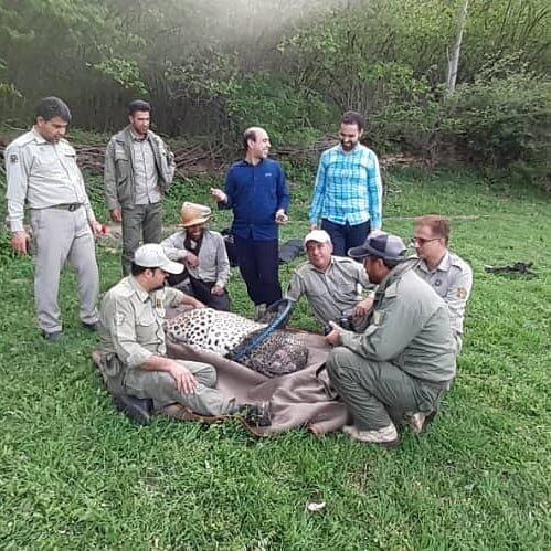 عملیات نجات پلنگ گرفتار شده در تله سیمی