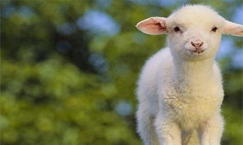 ببینید | ابتکار دامدار کاشانی در تغذیه بره تازه متولد شده از شیر بُز