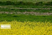 تصاویر | مزارع زیبای کلزا در خراسان شمالی