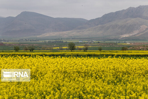 مزارع زیبای کلزا در خراسان شمالی