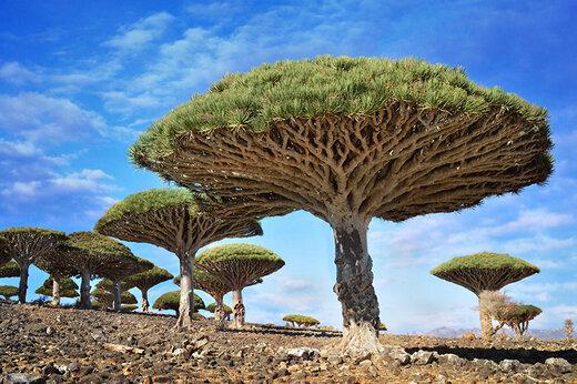 ببینید | درخت «خون اژدها»؛ یکی از جالبترین درختهای جهان