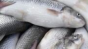 ایران،رتبه نخست تولید ماهیان سردآبی / افزایش چند برابری تولید آبزیان و کاهش قیمت در اولویت کاری شیلات