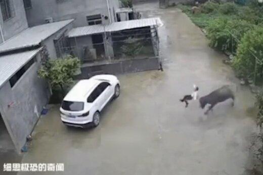 ببینید | حمله گاو وحشی به یک پسر بچه