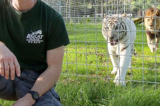 ببینید | حمله غافلگیر کننده ببر سفید به یک انسان در باغ وحش
