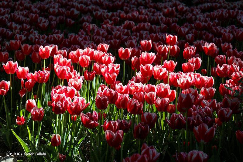 5556753 - عکس | تصاویر رویایی از باغ ایرانی؛ بهشت کوچک پایتخت