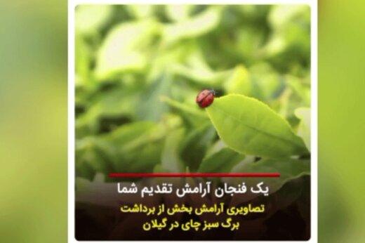 ببینید   تصاویری دلانگیز از برداشت برگ سبز چای در گیلان