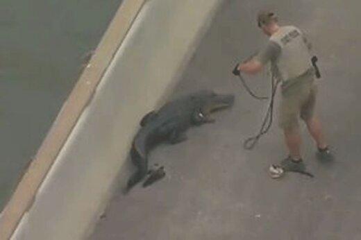 ببینید | تمساح سرگردان در خیابانهای شهر دستگیر شد