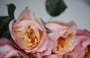 پرورش گل رز در خانه