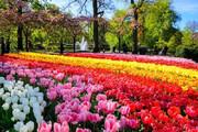 ببینید | قابهایی رویایی از مزرعه رنگارنگ گلهای لاله در هلند