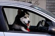 ببینید | حضور جنجالی سگ خانگی در یک خودرو دولتی