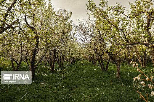 جلوه زیبای بهار با شکوفههای درختان سیب در سمیرم