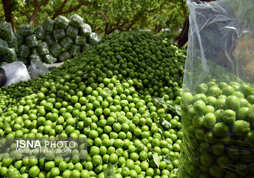 ممنوعیت خوردن گوجه سبز برای 3 گروه/ میوههای بهاری حساسیت ایجاد میکنند
