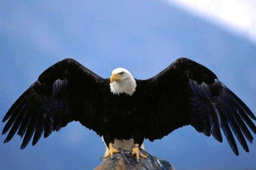 ببینید | حمله باورنکردنی و وحشتناک یک عقاب به دختربچه 8 ساله