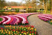 ببینید | نمایش خیره کننده رنگها در مزارع گل لاله