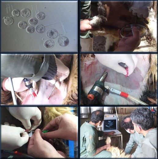 موفقیت پژوهشگران دانشگاه شهرکرد در انتقال جنین های آزمایشگاهی گوسفند با تکنیک لاپاروسکوپی