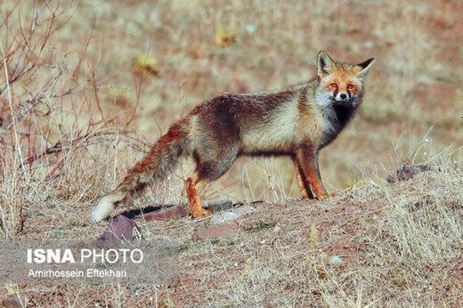 ببینید | لحظه تماشایی و جذاب رهاسازی یک قلاده روباه به دامان طبیعت