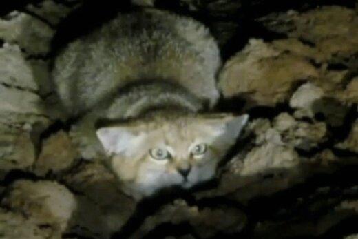 ببینید | 34 ثانیه تماشایی و جذاب استتار گربه شنی در ایران