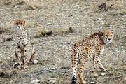 ببینید | تصویربرداری از فِقِه یوزپلنگ شناسنامهدار ایرانی در شاهرود