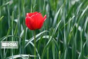تصاویر   لحظاتی دیدنی و تماشایی مزرعه گل لاله