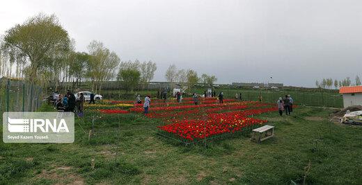مزرعه گلهای لاله در روستای اسپرهخون تبریز
