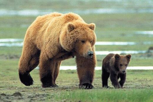 حمله خرس به مرد تنها در کوههای اقلید