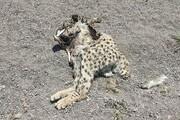 یک قلاده یوزپلنگ در میامی سمنان تلف شد